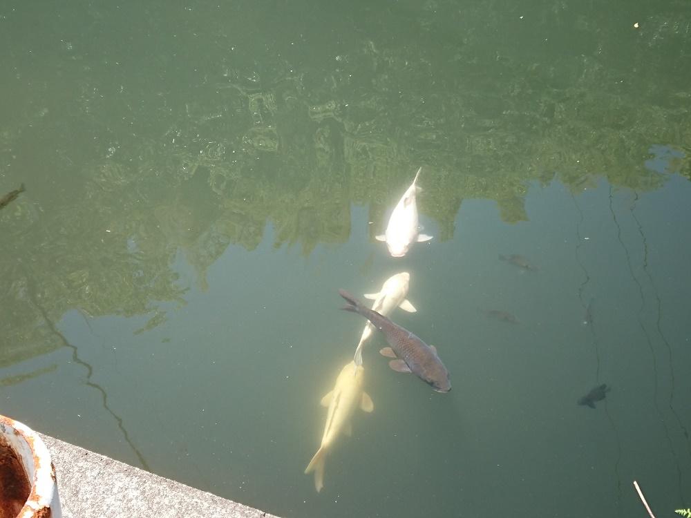 堀田温泉の池で泳ぐ鯉