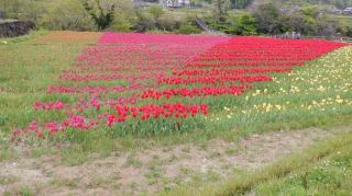 原尻の滝敷地内のチューリップ畑