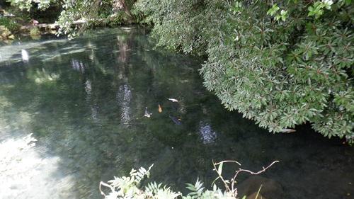 明神池と泳ぐ鯉