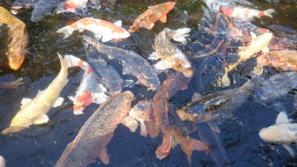 餌に群がる鯉の光景