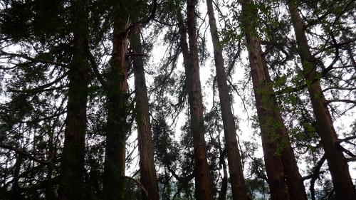 天岩戸神社東本宮奥の遊歩道にある七本杉