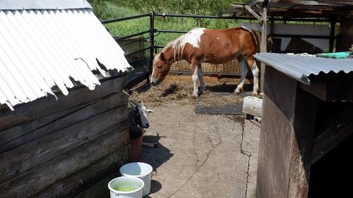 べべんこにいる小さめの馬