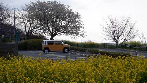 駐車場と菜の花